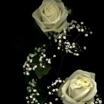 11white rose