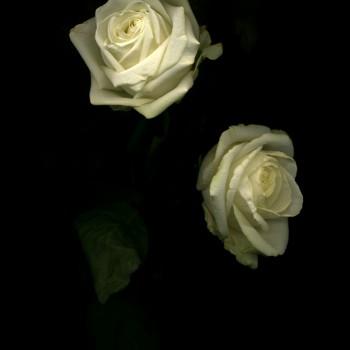 Rose4.6-2-11